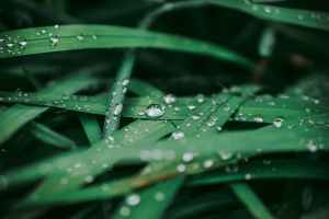 Dewdrops collecting on blades of green grass