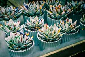 Cupcakes decorated to look like white succulents, with drizzled rainbow colors