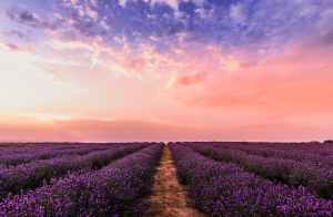 Fields of lavender at sunset