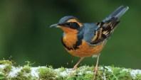 700x400-bird-thrush-varied-wbu6643
