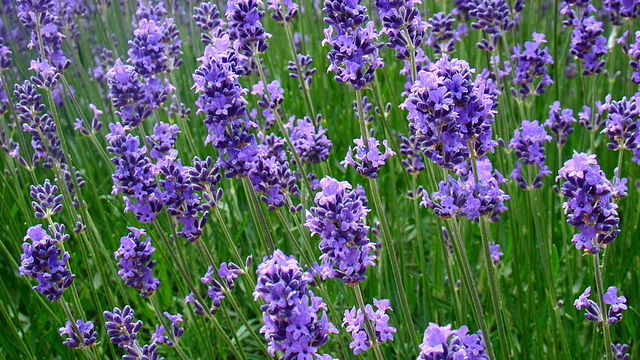 Not your Grandma's Lavender Oil!