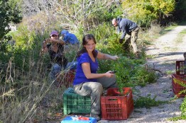 Ildiko and the diligent team harvesting myrtle