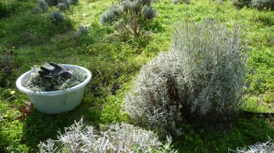 January is for pruning the bushes on the Cretan lavender farm