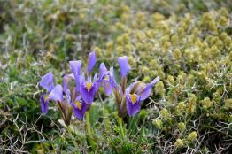 Wild iris trio