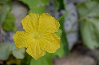 Luffa flower