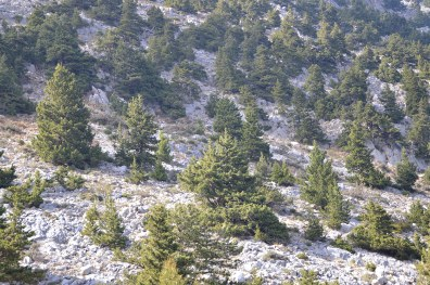 Cypress trees on the rocky White Mountains of Crete