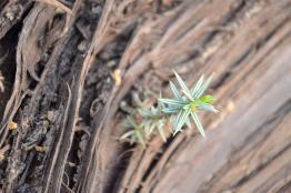 Cretan Juniper (Juniperus oxycedrus subsp. macrocarpa) trunk and young twig