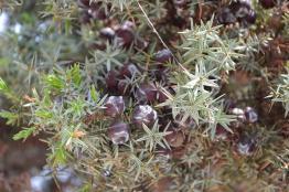 The beauty of Juniper (Juniperus oxycedrus subsp. macrocarpa)