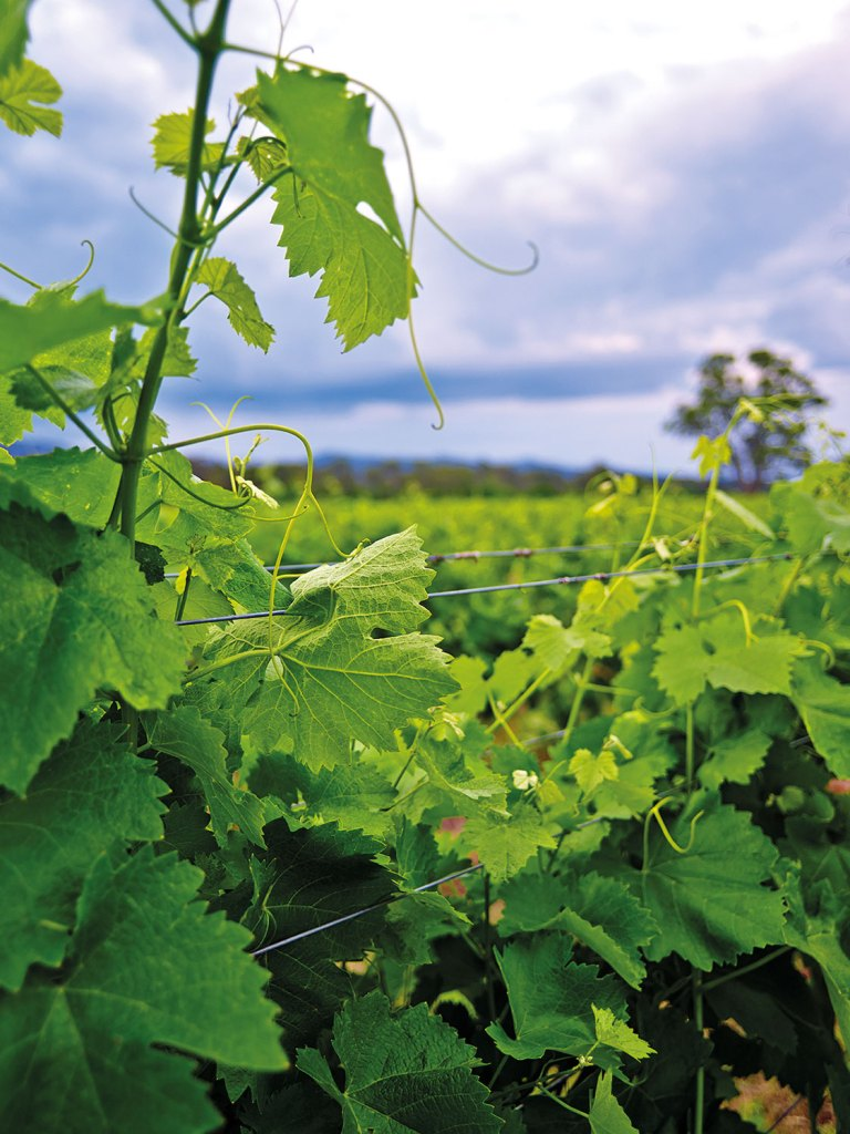 Australian Prosecco Vineyard, King Valley