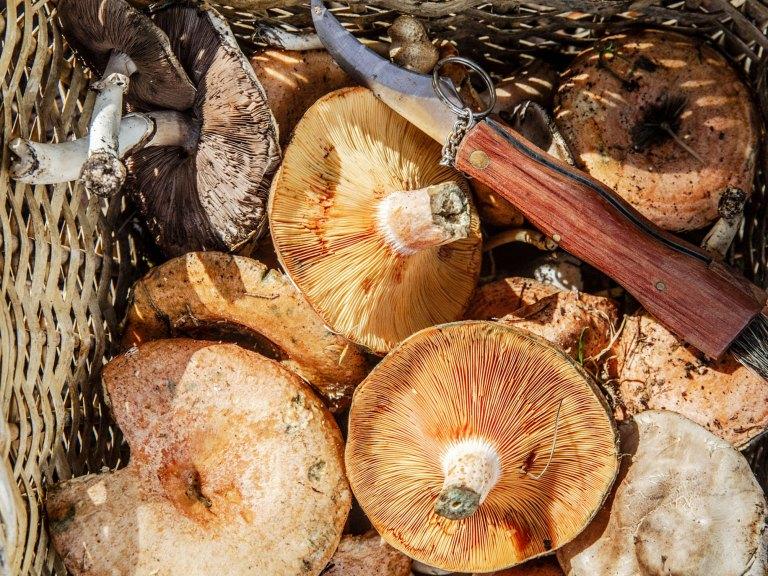 Grossi Mushroom Harvest