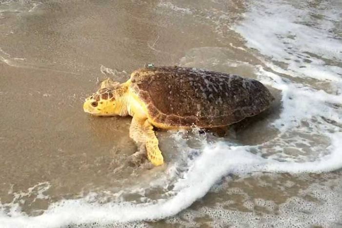 Sea Turtle Recovery releases its 50th sea turtle