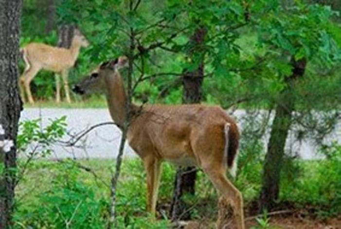 NJDOT, NJDEP remind drivers to beware of deer and drive with extra caution