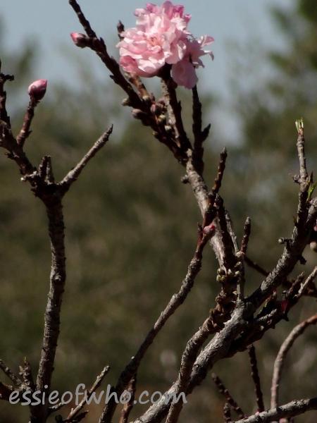 2013 Peach blossom