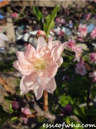 2016-peach-blossoms-10