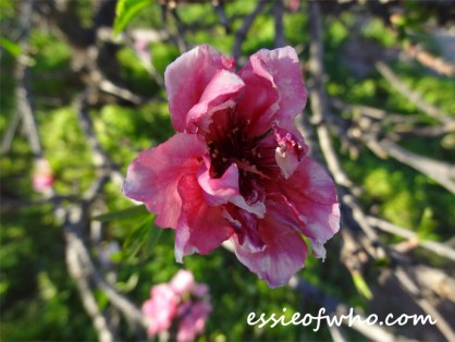 2016-peach-blossoms-12