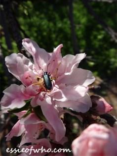 2016-peach-blossoms-3