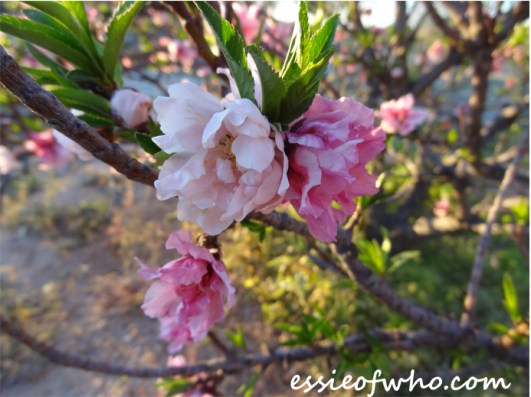 2016-peach-blossoms-4