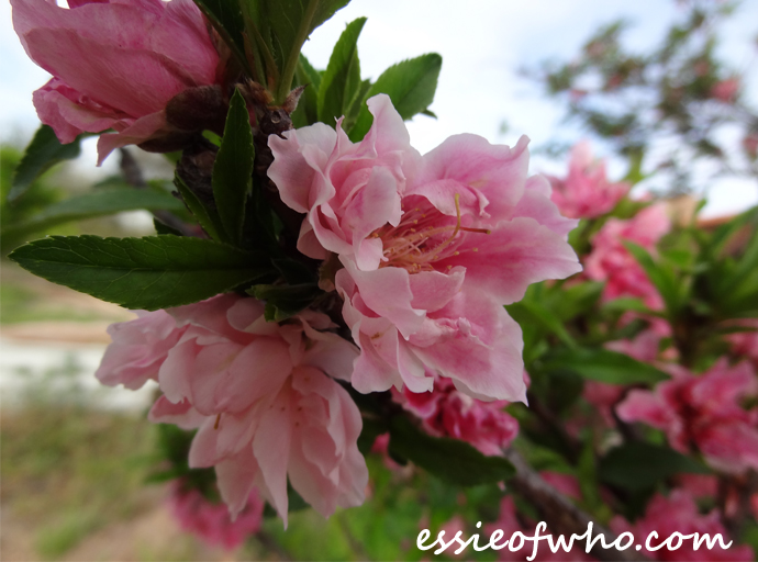 2016-peach-blossoms-9