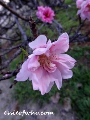 peach blossom 2017 (15)