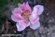 peach blossom 2017 (19)