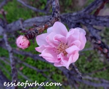 peach blossom 2017 (2)