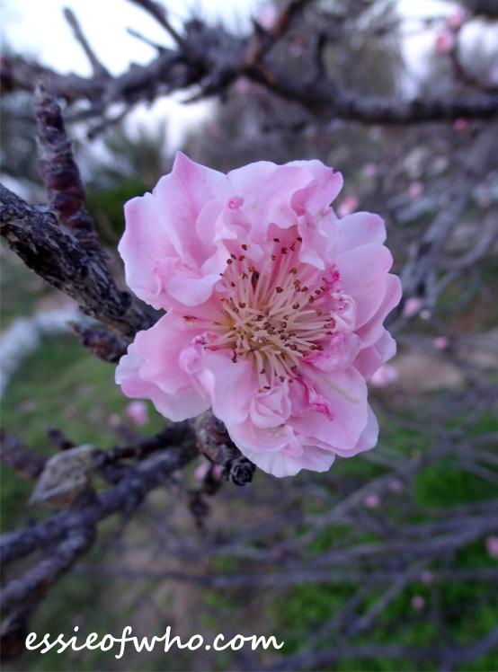 peach blossom 2017 (5)