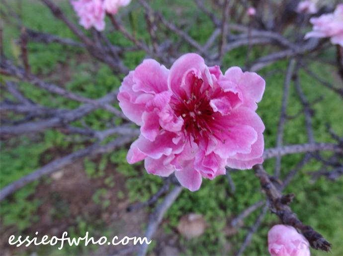 peach blossom 2017 (8)