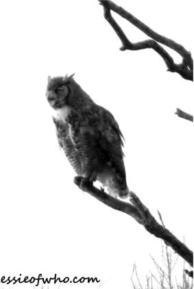 great horned owl photos (1)