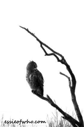 great horned owl photos (2)