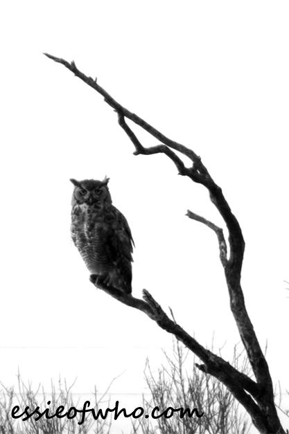 great horned owl photos (3)