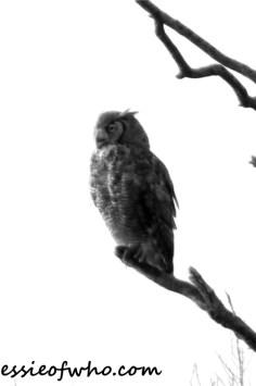 great horned owl photos (4)