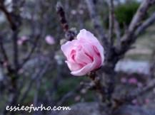 peach blossom 2017 (17)