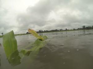 Cultivo de maíz. Sur Quintana Roo, 18 septiembre. Foto: Bruno Cárcamo.