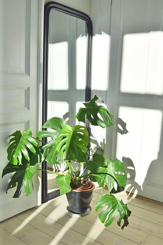 Decorar con plantas_monstera 3