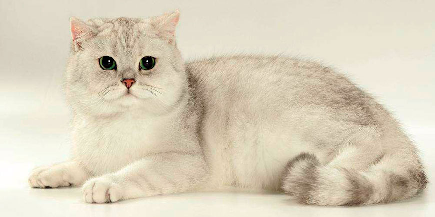 british_shorthair_cat_9