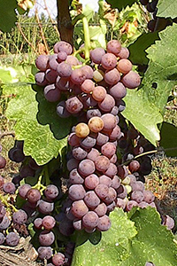 Moschofilero Greek Grape Variety