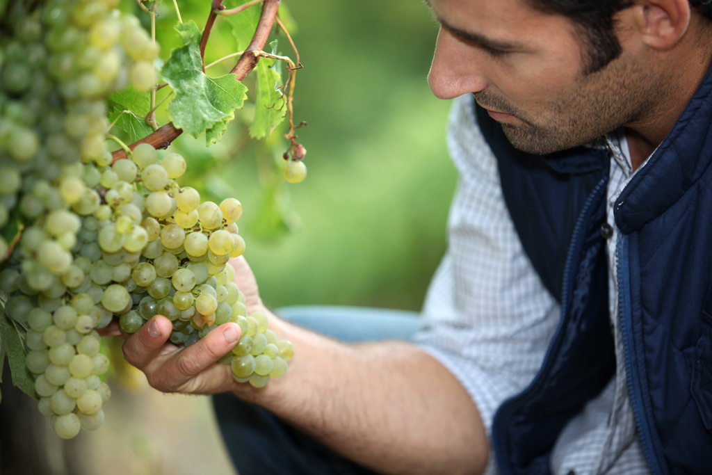 Man tenderly holding green grapes