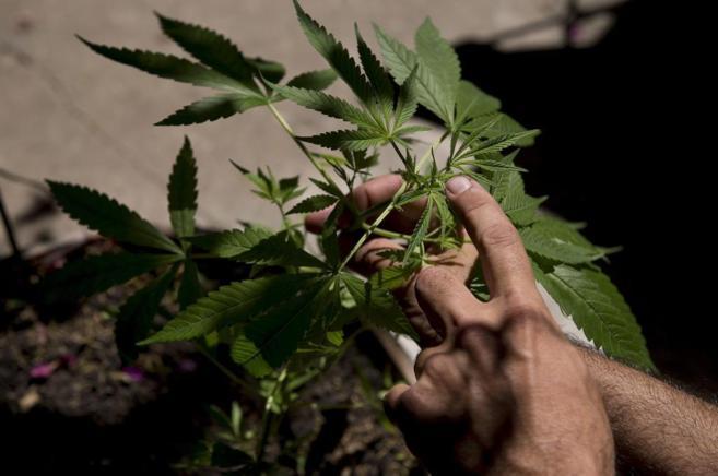 Un hombre sostiene una planta de marihuana (Montevideo, Uruguay)