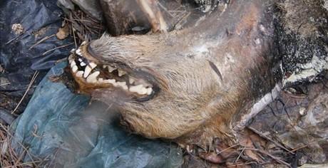 Restos de uno de los perros encontrados en la finca de Montcada