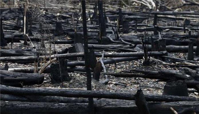 Restos de árboles quemados luego de los incendios en la Amazonia.