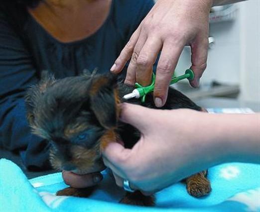 La veterinaria coloca el chip con los datos identificativos a un perro