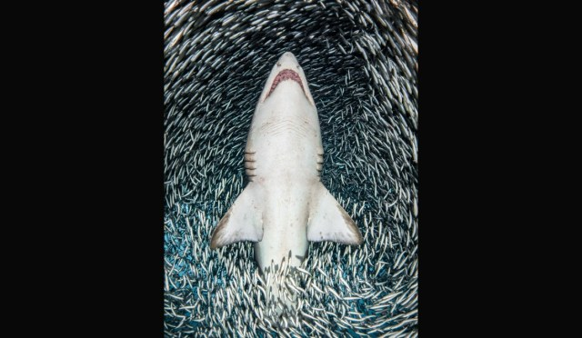 A sand tiger shark surrounded by tiny fish
