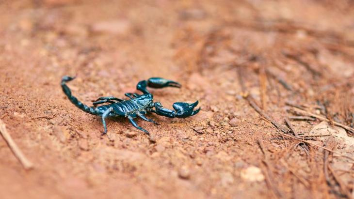 Los escorpiones no han cambiado mucho en millones de años.