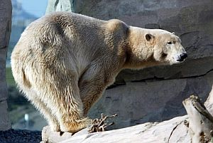 Lloyd, un oso polar del zoo am Meer de Bremerhaven, Alemania. (Foto: EFE)