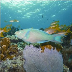 Un pez loro junto nada junto a corales en el Caribe. (Foto: 'Nature')
