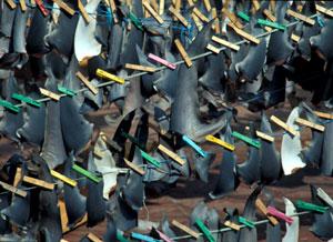 Aletas de tiburón secándose en la cubierta de un barco gallego. (Foto: Ricardo R. Fernández)