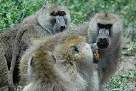 Grupo de babuínos usados para el estudio. | PNAS