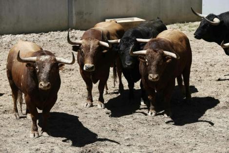 Toros de la ganadería de Alcurrucén, que correran el primer encierro de los Sanfermines.   Efe