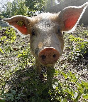 Un cerdo en una granja. (Reuters)