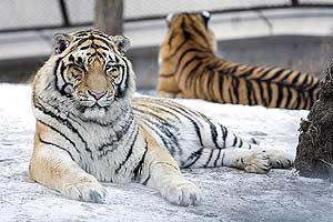 Un tigre siberiano, en un centro de reproducción. (Foto: EFE)